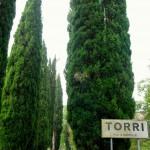 Torri cypresses