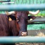 The symbol –the bull